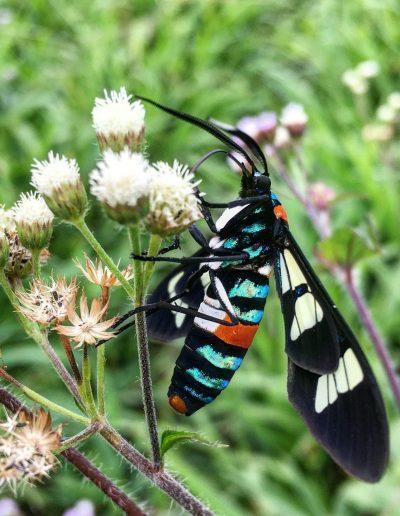 Biodiversité (Euchromia folletii)