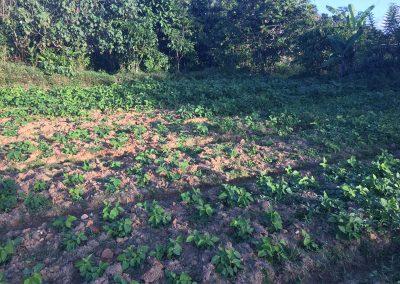 Culture de poids canavalia comme culture intermediaire pour aider à la restructuration du sol