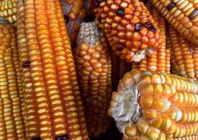 Maïs comme culture associée pour l'ombrage du patchouli et gingembre