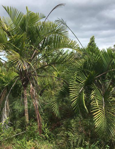 Espèce locale (endémique) de palmier